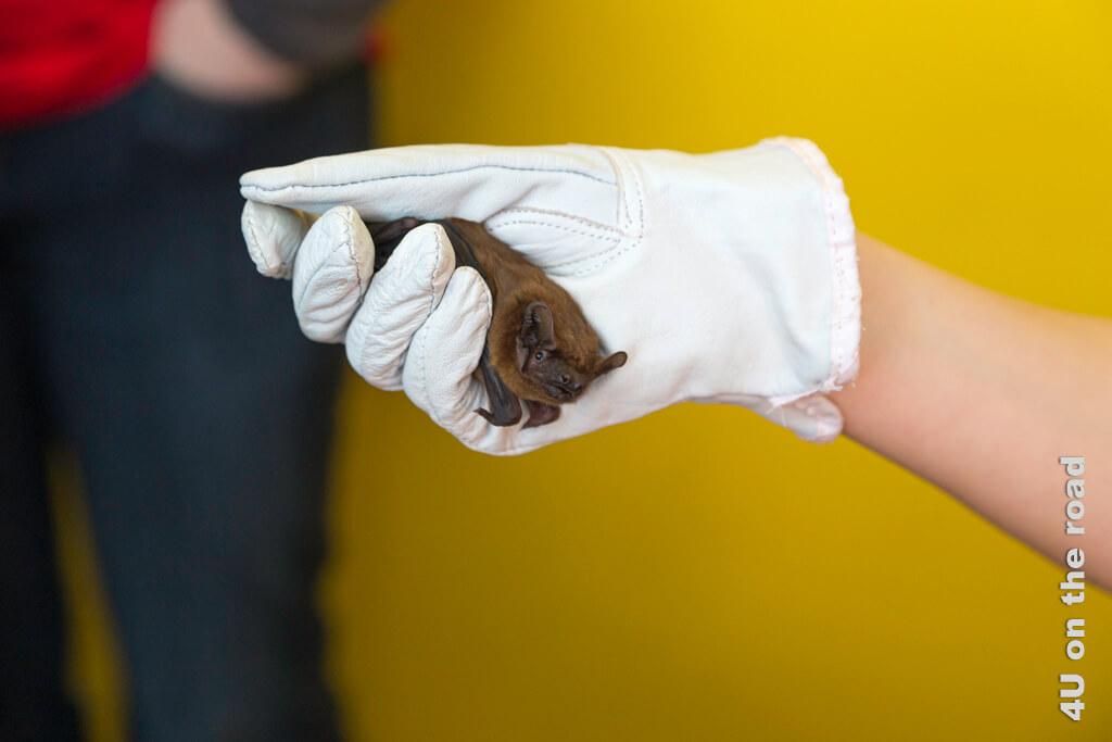 Die Schützlinge, die im Winter in der Auffangstation für Fledermäuse landen, müssen gefüttert werden - Zoo Zürich