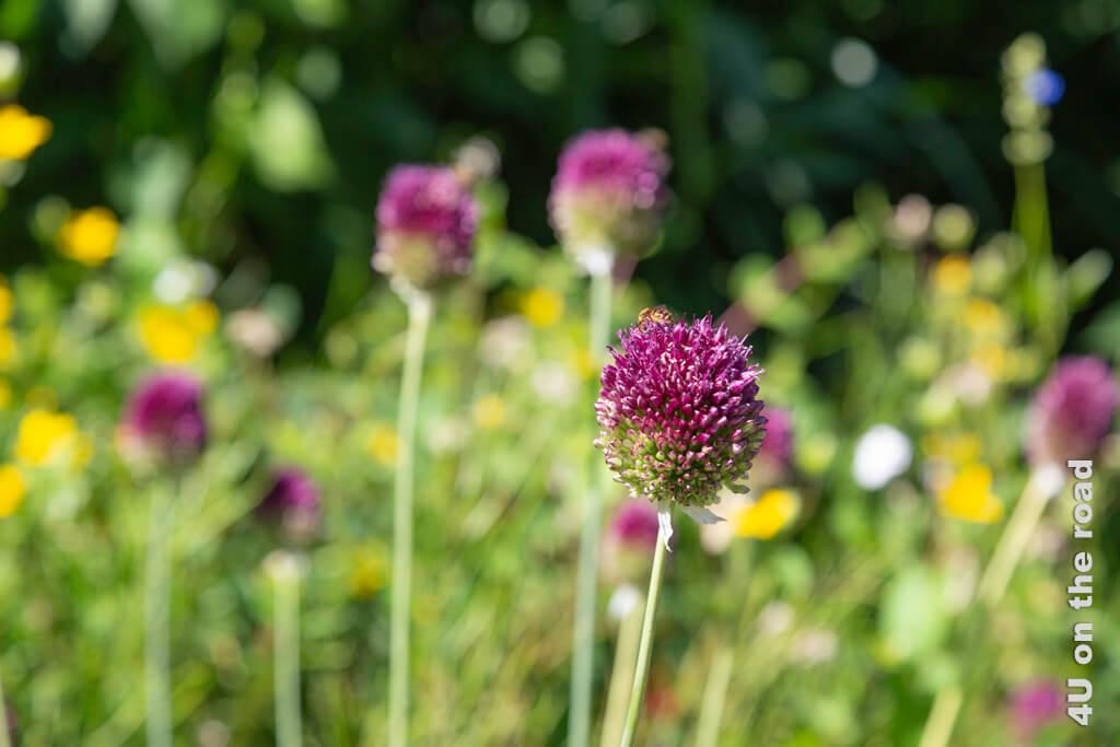 Kugelblüten mit Biene - Botanische Garten Zürich