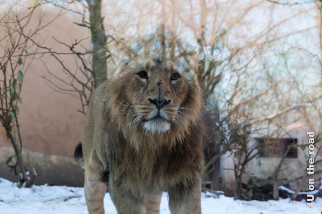Was dieser junge Löwe mit dem nachdenklichen Blick wohl durch die Scheibe gesehen hat?
