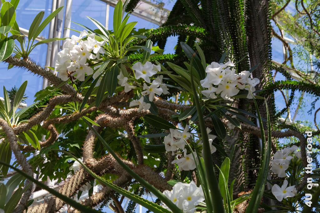 Blüten der Madagaskar Palme