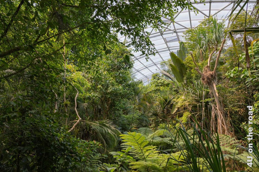 Blick in den Masoala Regenwald. Das üppige Grün ist Nahrung und Versteck für viele Tiere. Bei einem Ausflug in den Zoo Zürich muss man aber etwas Geduld haben, um sie zu entdecken.