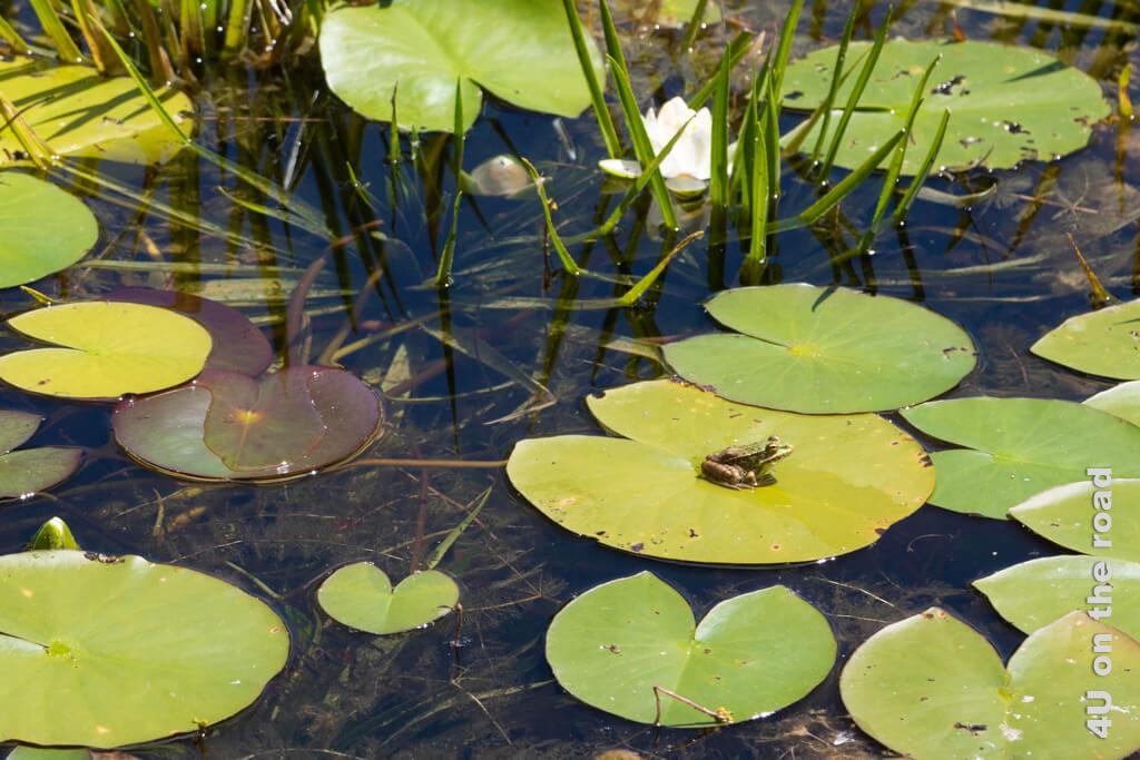 Teichfrosch auf dem Seerosenblatt - Botanischer Garten Zürich