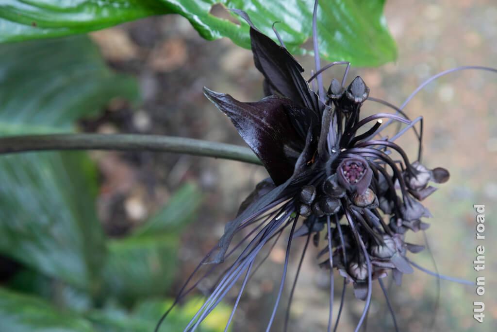 Die ostindische Teufelsblüte ist die wohl beeindruckendste Blüte in der Masoala Halle. Die Knollen der Pflanze sind stärkehaltig und werden gekocht oder als Brotmehl in der Küche verwendet.