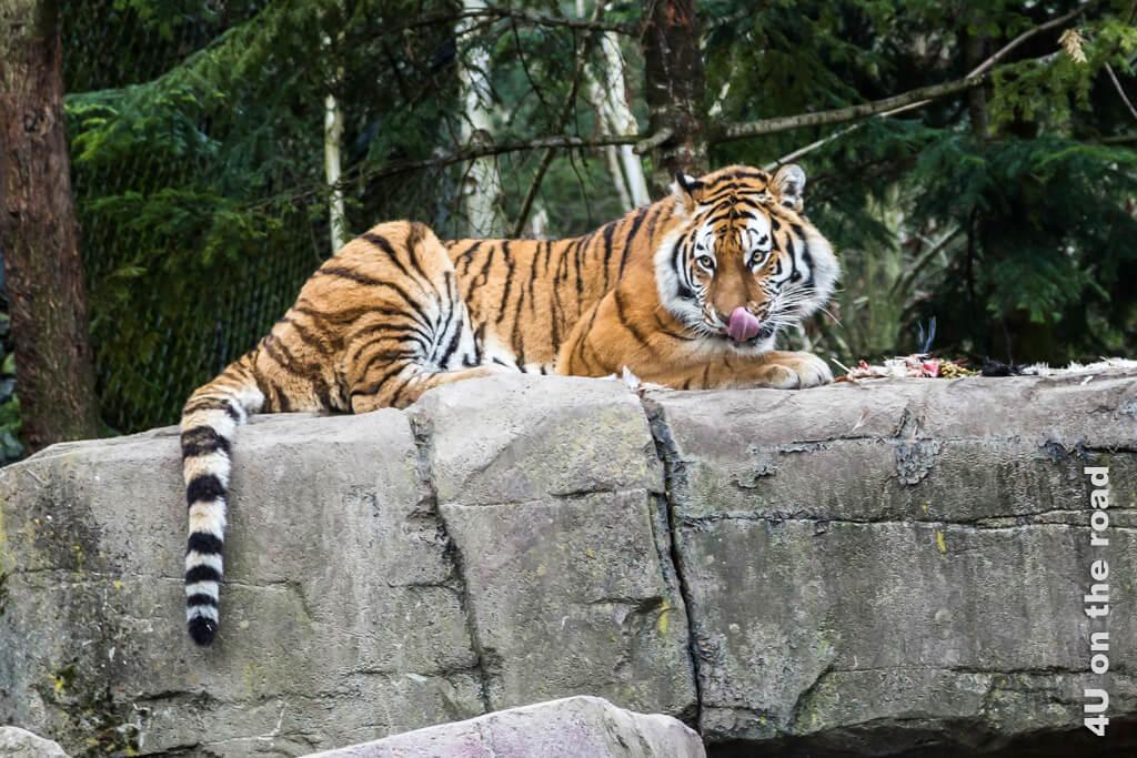 Der Tiger hat sein Mahl beendet. Da das Gehege nicht überall einsehbar ist, ist es eine Frage des Glücks, ob man den Tiger bei einem Ausflug in den Zoo Zürich so gut beobachten kann.