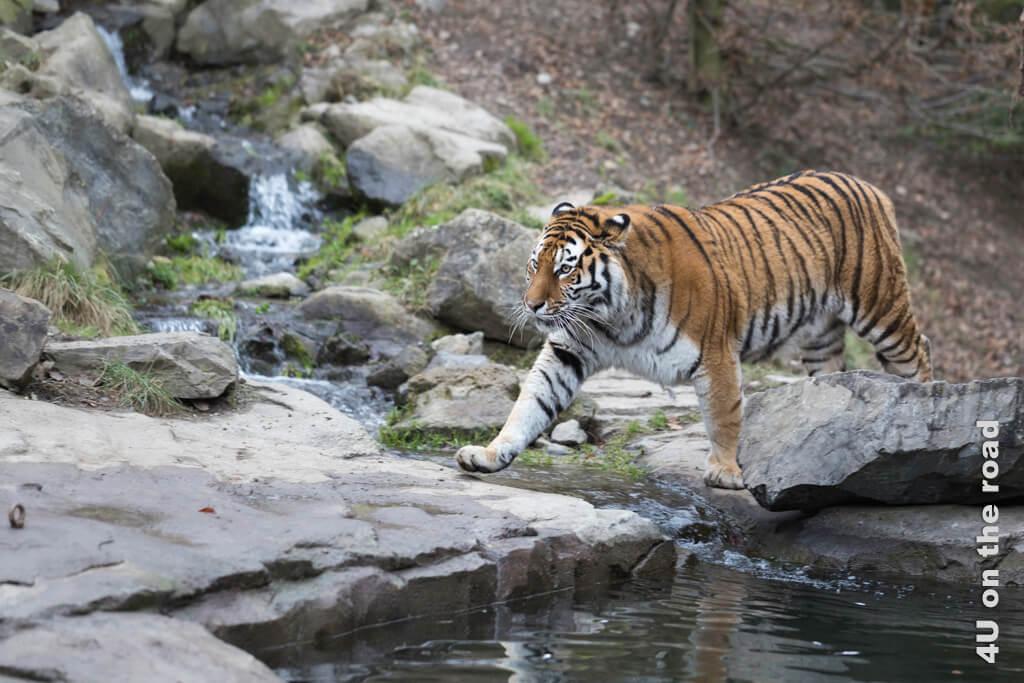 Dieser Tiger verlässt den Wald und dreht immer wieder seine Runden. Ob unser umgangssprachliches Wort herumtigern für Jemanden, der unruhig hin- und herläuft, wohl daher kommt?