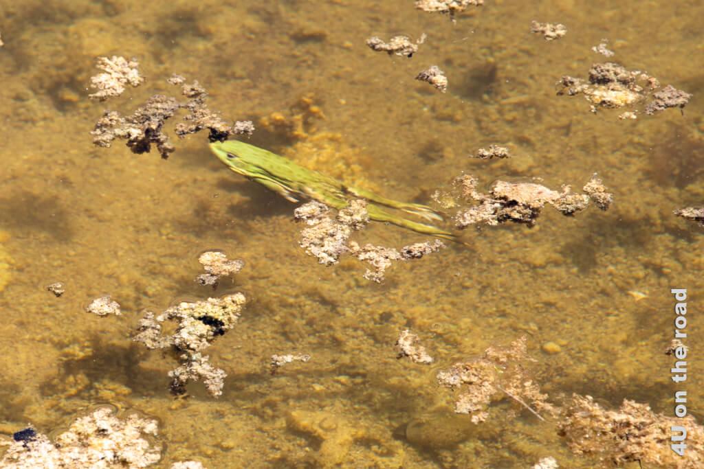 Frosch in Schwimmbewegung