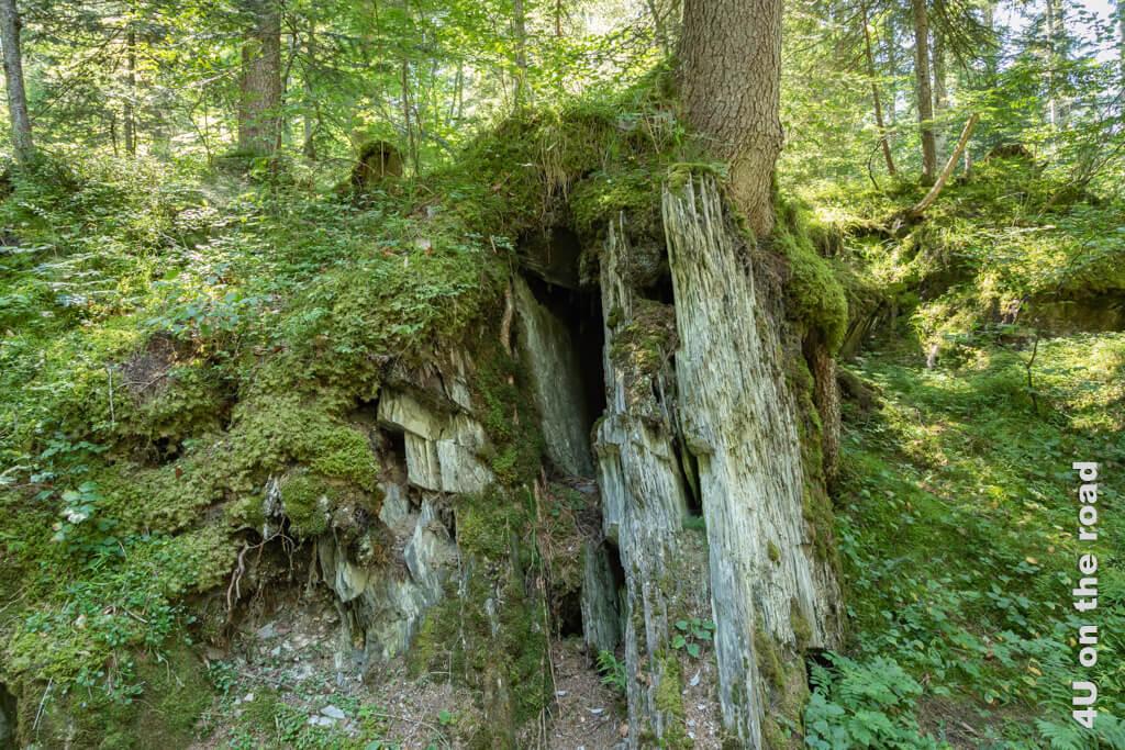 Es scheint fast so, als würde dieser Baum den Felsen zusammenhalten. - Wanderung Rheinschlucht