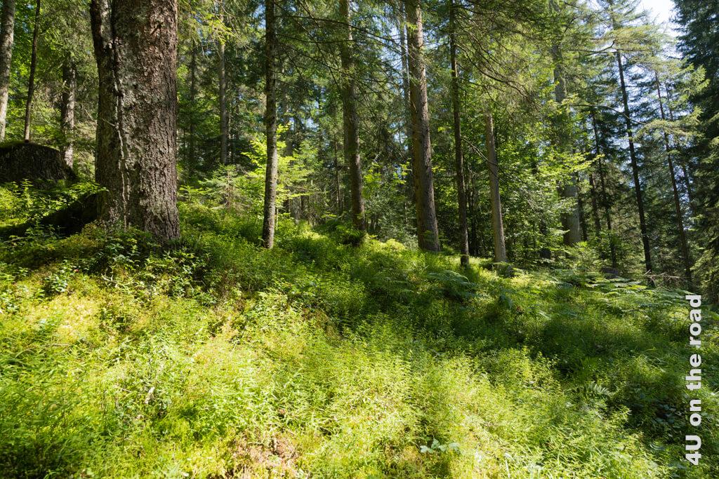 Wie gut es tut, mal wieder durch den Wald zu laufen und sich am Grün sattzusehen. Wanderung Rheinschlucht