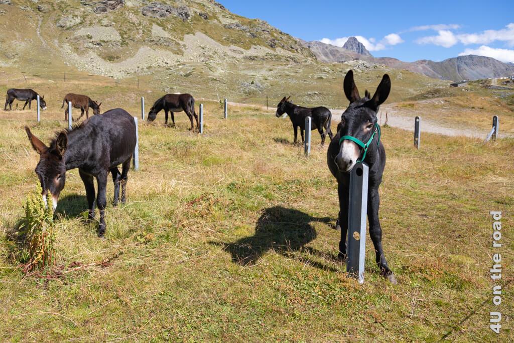 Esel Herde am Bernina Pass