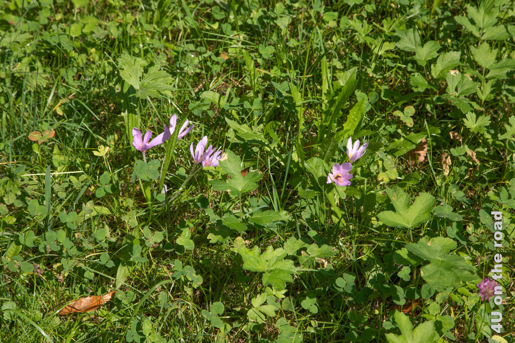 Herbstzeitlose blühen in den Wiesen, Castasegna