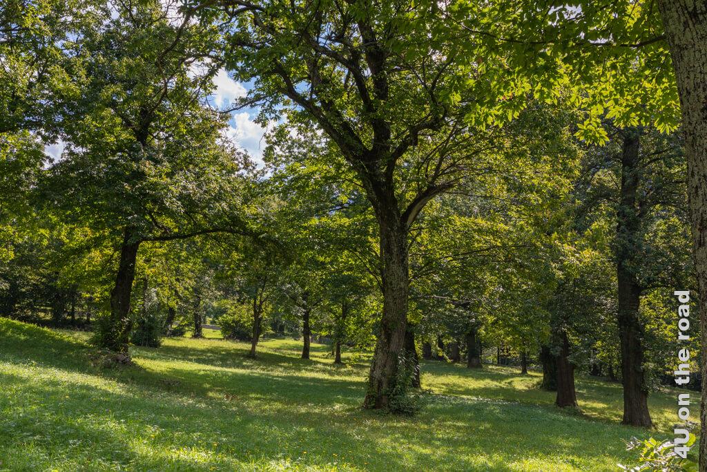 Licht und Schatten in der Kastanienselve - die Kastanien tragen nur an Ästen mit viel Licht. Kastanienlehrpfad Castasegna