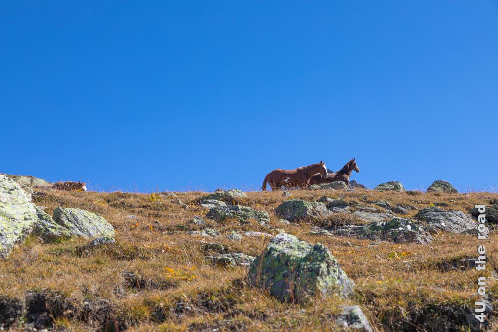 Die Pferde können sich hier oberhalb des Muottas Muragl frei bewegen.