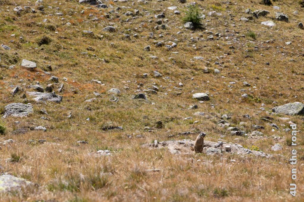 Dem Murmeltier sind wir jetzt nah genug. Es verschwindet - Val Champagna