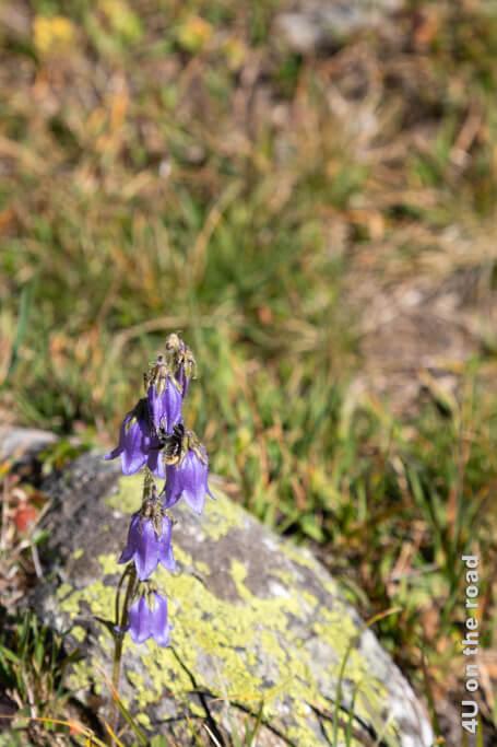 Die Glockenblumen ziehen noch Insekten an - Wanderung vom Muottas Muragl über die Fuorcla Val Champagna