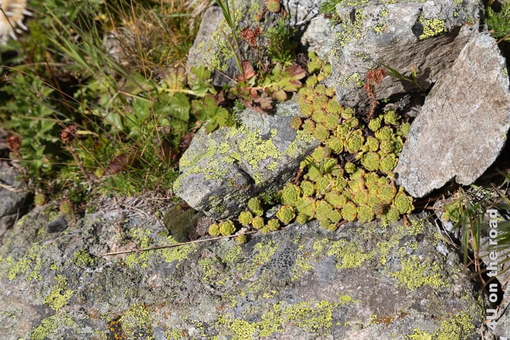 Hauswurze in einer Felsspalte - Rundwanderung vom Muottas Muragl über die Fuorcla Val Champagna