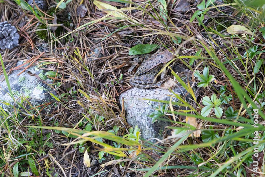 Sogar ein Frosch hüpft über den Weg - Wanderung vom Muottas Muragl über die Fuorcla Val Champagna