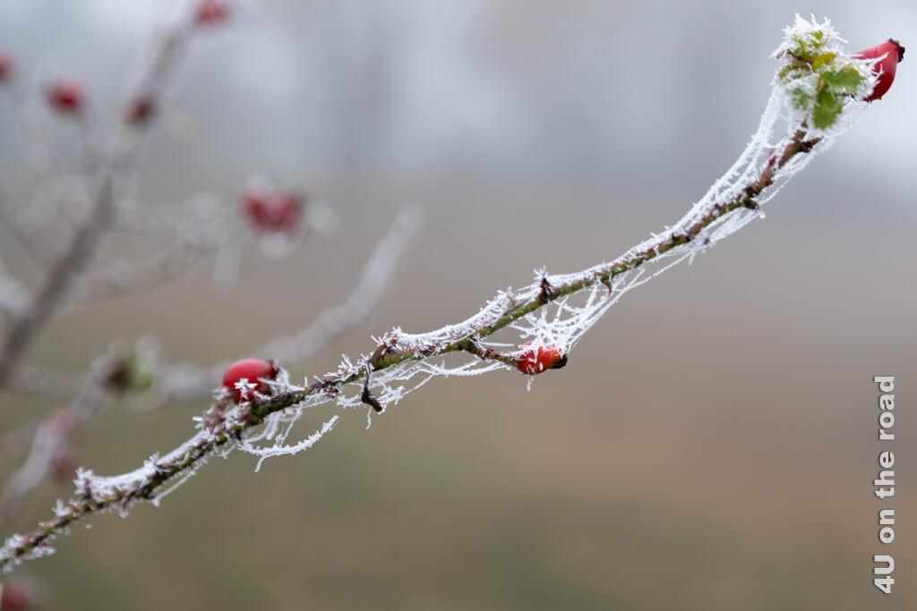 Hagebutten mit frostig hervorgehobenen Spinnweben