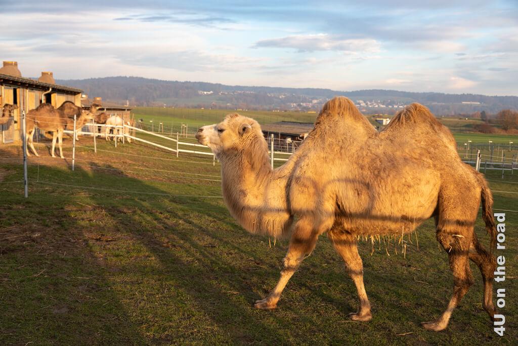 Ein Trampeltier oder auch Altewelt-Kamel im Licht der untergehenden Sonne - Ben's Kamelfarm