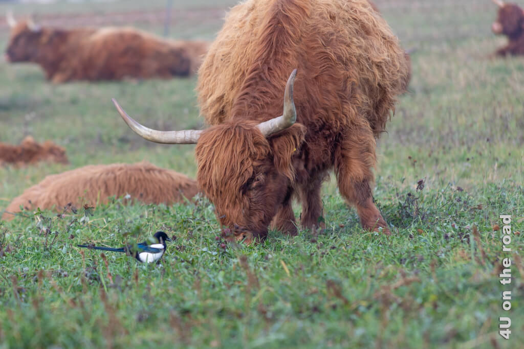 Die Kühe lassen sich weder von den Staren noch den Elstern stören - Flughafenrundweg