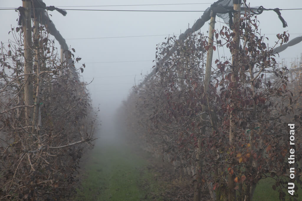 Obstplantage im Nebel