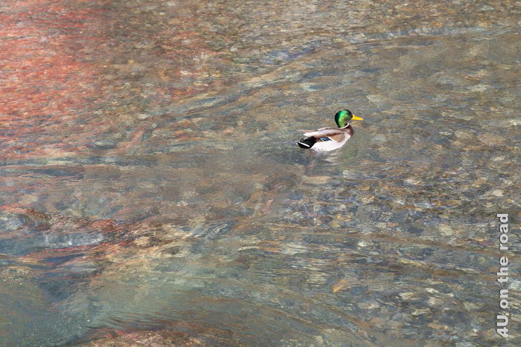 Kurz aufgeflogen kämpft dieser Erpel jetzt gegen die Strömung im flachen Wasser. Der Untergrund der Töss ist hier sehr farbenfroh.