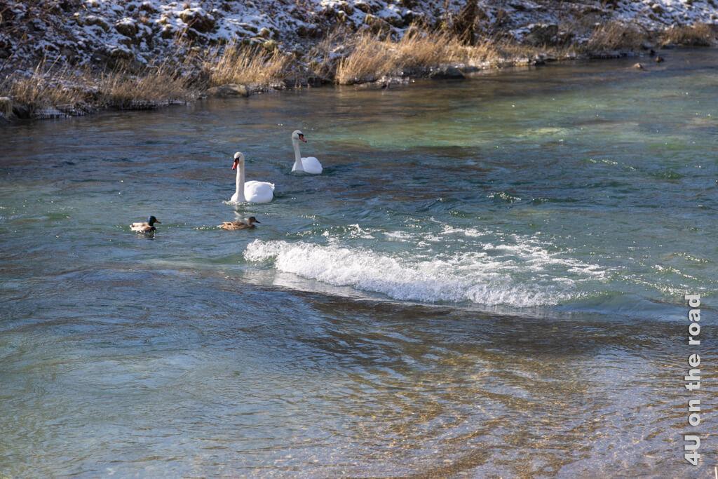 Eine Welle in der Töss! Die Enten schaffen es gerade so noch an den Schwänen vorbeizukommen.