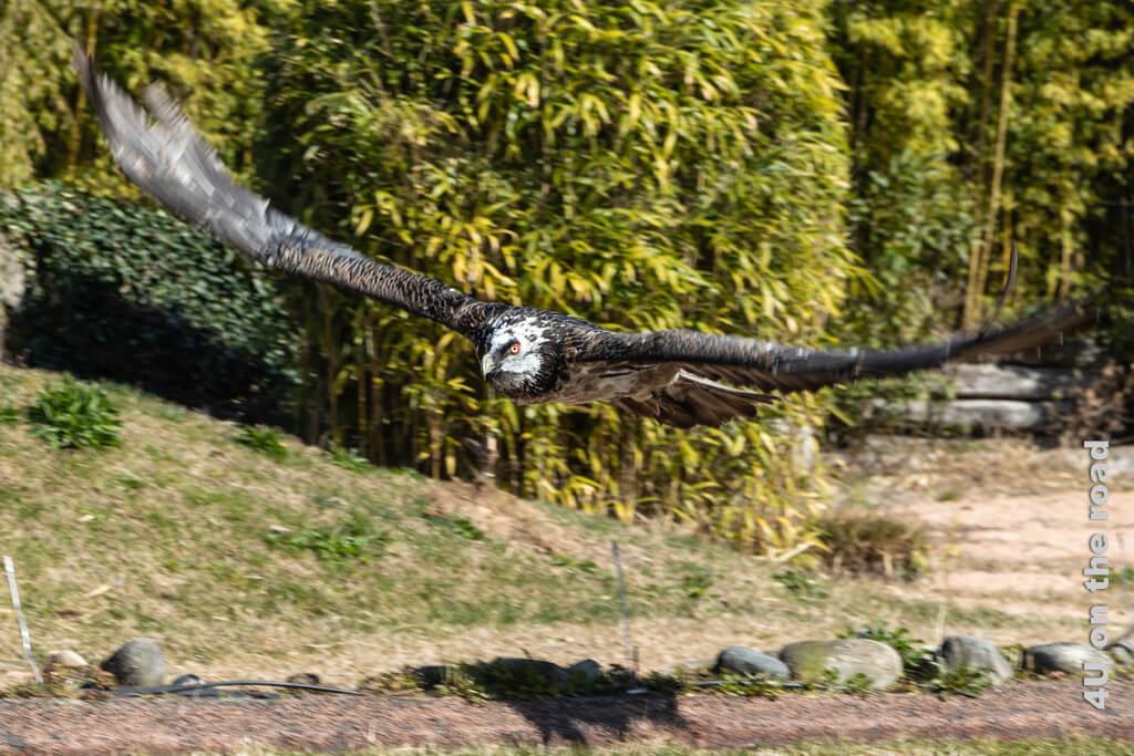 Der Bartgeier im Flug - Falconeria Locarno