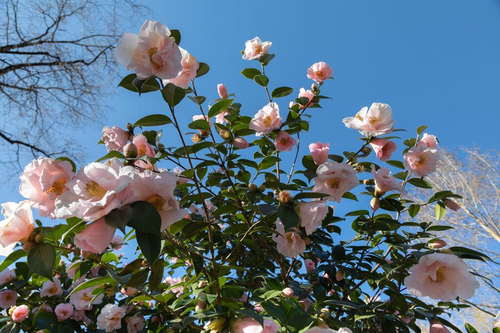 Nicht von ungefähr spricht man von Kamelien auch als der Rose des Winters. - Kamelienpark Locarno