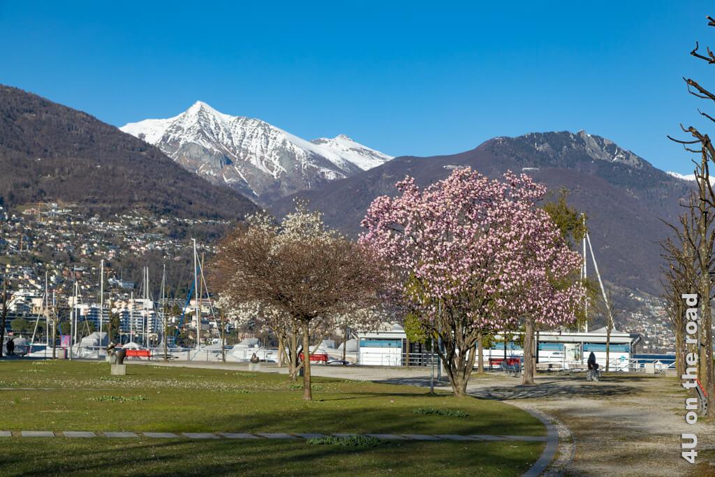 Welch Bild, die blühenden Magnolien und der schneebedeckte Berg im Hintergrund. - Frühling in Locarno