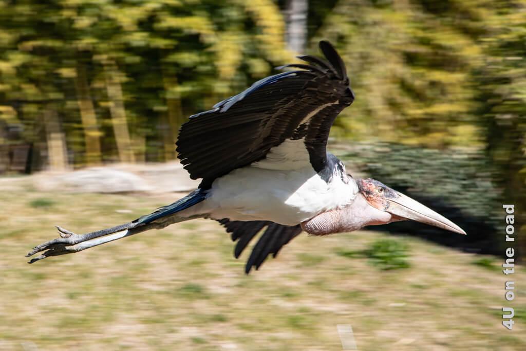 Der Marabu schwebt normalerweise mit breit ausgebreiteten Schwingen am Himmel auf der Suche nach Kadavern.