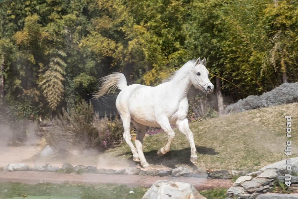 Das kleine weisse Pferd lässt seinen Schweif stolz im Wind wehen.