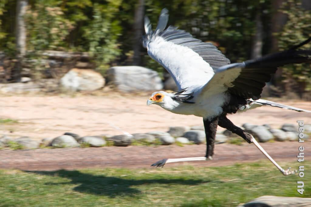 Sekretär - laufen unter Zuhilfenahme der Flügel - Falconeria Locarno