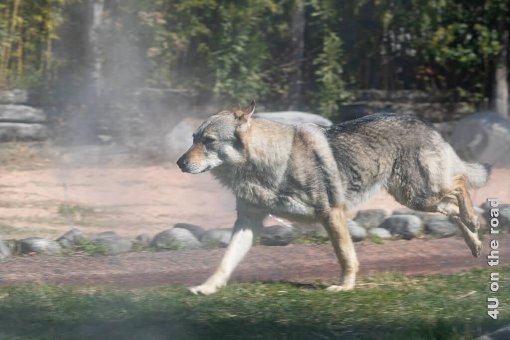 Kraftvoll und geschmeidig läuft der Wolf über die Bühne, nachdem er erst einmal sein Revier markiert hat. Falconeria Locarno