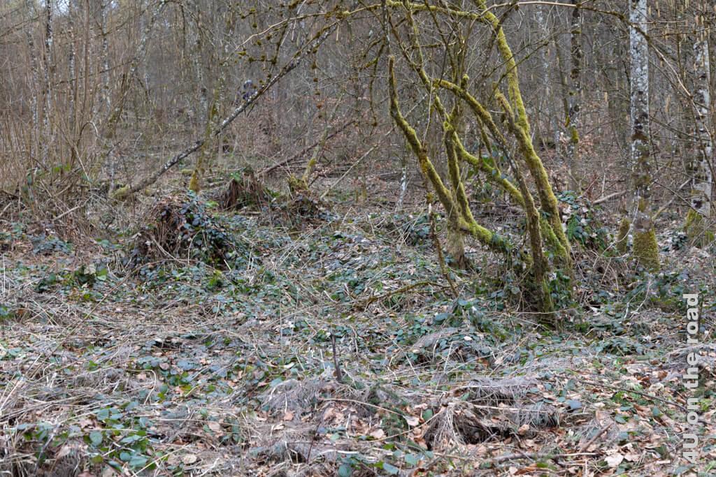 Der Boden des gesamten Waldes ist hier von Brombeerranken überwuchert.