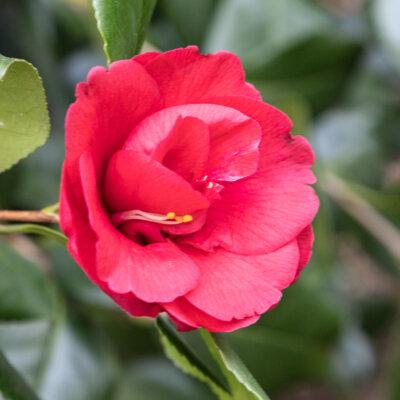 Kamelienblüte - Botanischer Garten Gambarogno