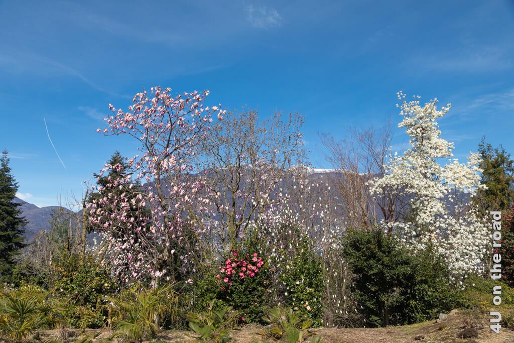 Hier im Botanischen Garten Gambarogno wachsen viele verschiedene Magnolien- und Kamelienarten, so dass sich die Blüte über einen längeren Zeitraum erstreckt.