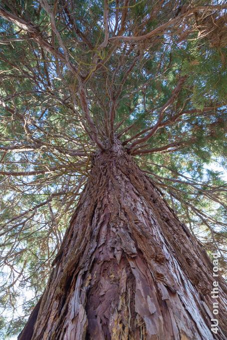 Dieser Riesenmammutbaum ist im Vergleich zum ca. 3000 Jahre alten Grizzly Giant im Yosemite NP noch sehr jung, aber dennoch beeindruckend.