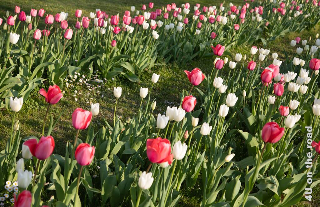 Immer wieder werden die Grasflächen im Parco Ciani durch Beete mit Tulpen oder Bauminseln aufgelockert.