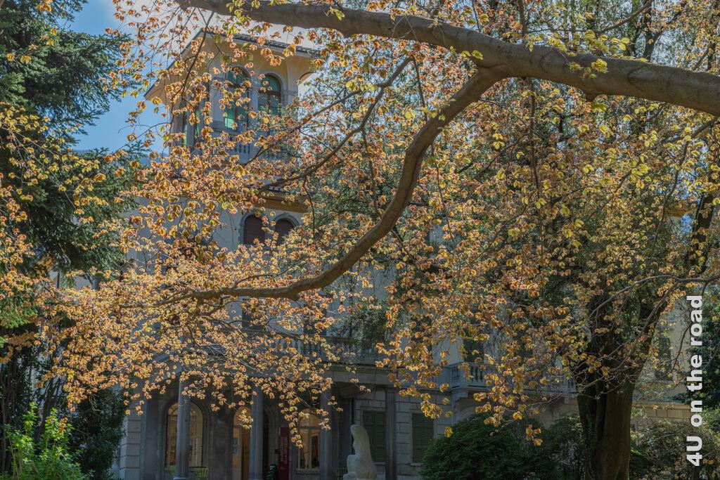 Die Villa dei Cedri durch die jungen Blätter der alten Steineiche gesehen. - Englischer Landschaftspark der Villa Cederi