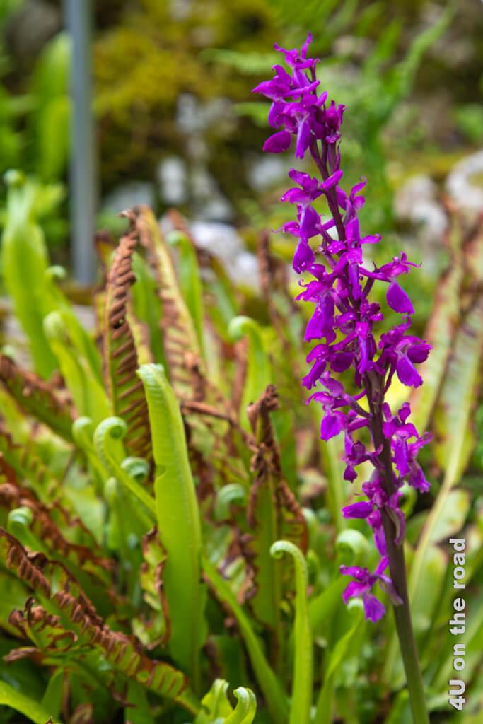 Männliches Knabenkraut - eine Orchidee, die in naturbelassen Regionen der Schweiz noch häufiger anzutreffen ist.