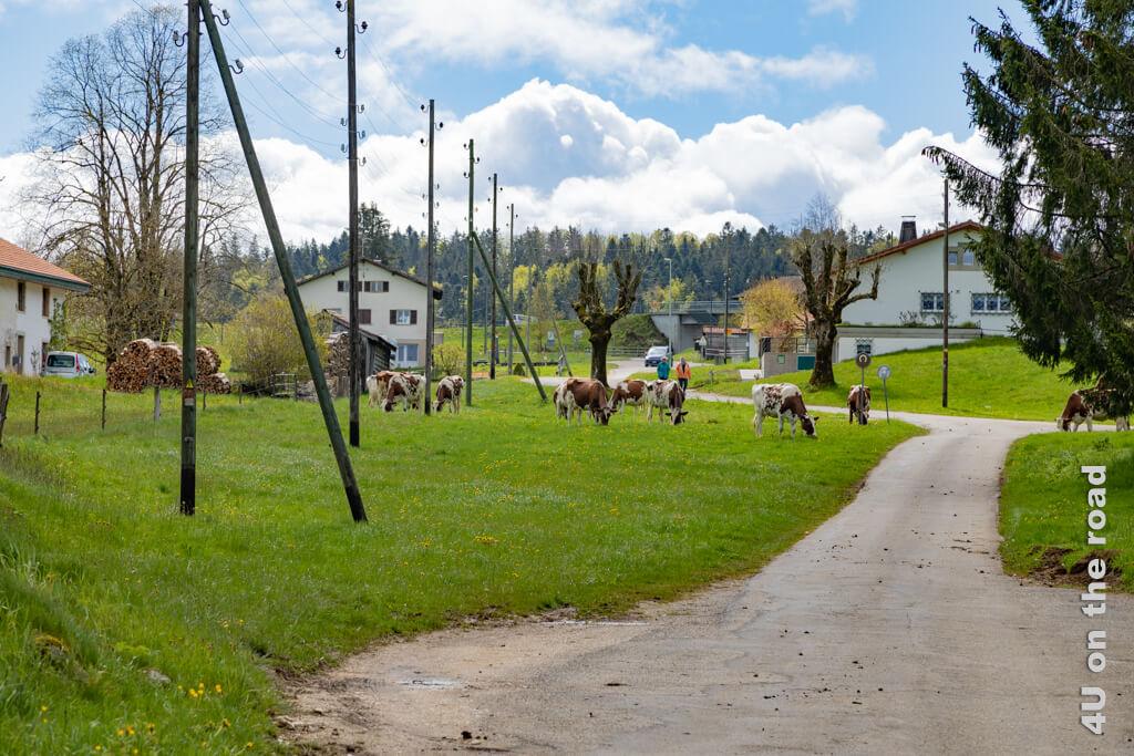 Kühe, die ihren Weg durch das Dorf zur Weide alleine finden. - Wanderung zum Sommêtre Grat.