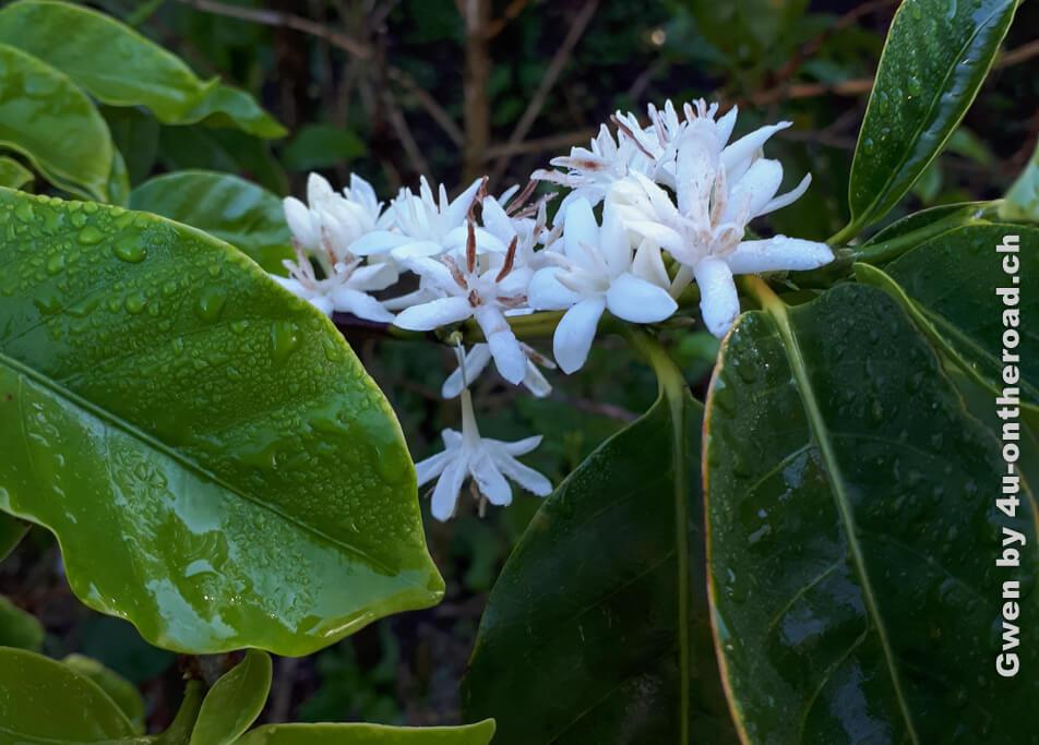 Blühende Kaffeepflanze - Ausflug nach Monteverde