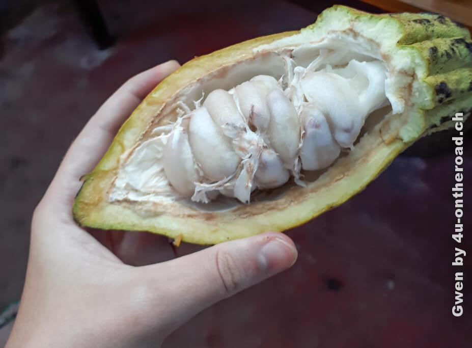 Aufgeschnittene Kakaofrucht - Ausflug nach Monteverde