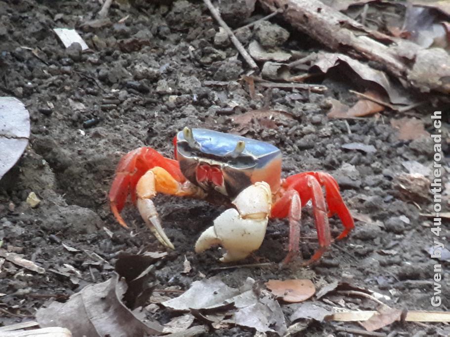 Farbenfrohe Krabbe - Ausflug zum Manuel Antonio Nationalpark