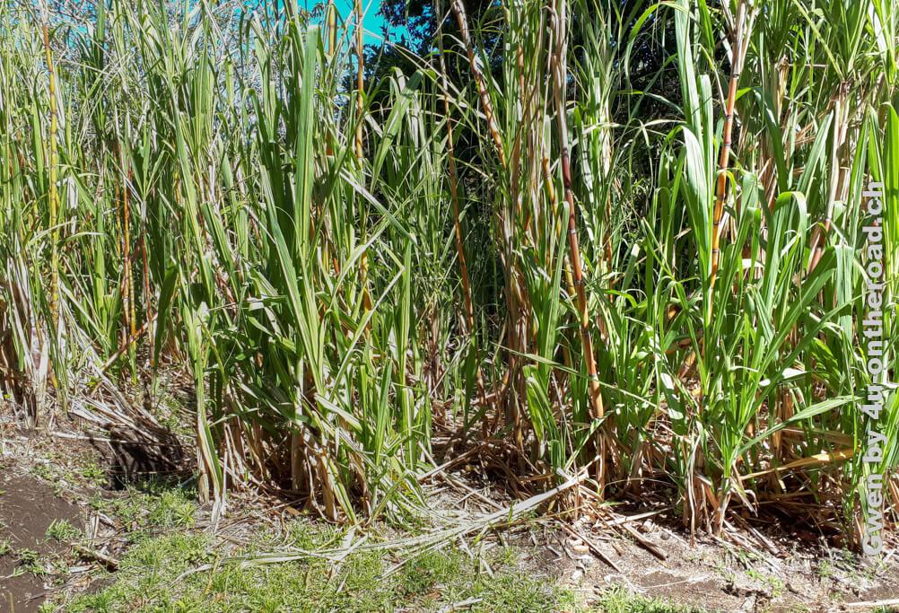 Zuckerrohr - Ausflug nach Monteverde