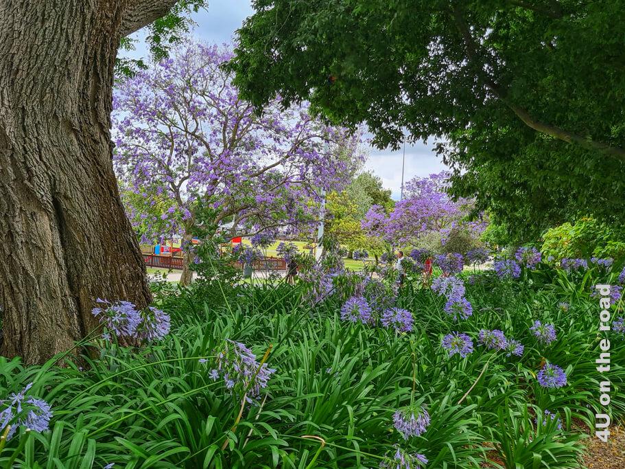 Jacaranda Bäume im Garten Jardim Alfonso de Albuquerque. Diese Bäume sieht man sonst vor allem auf der anderen Hälfte der Erdkugel.
