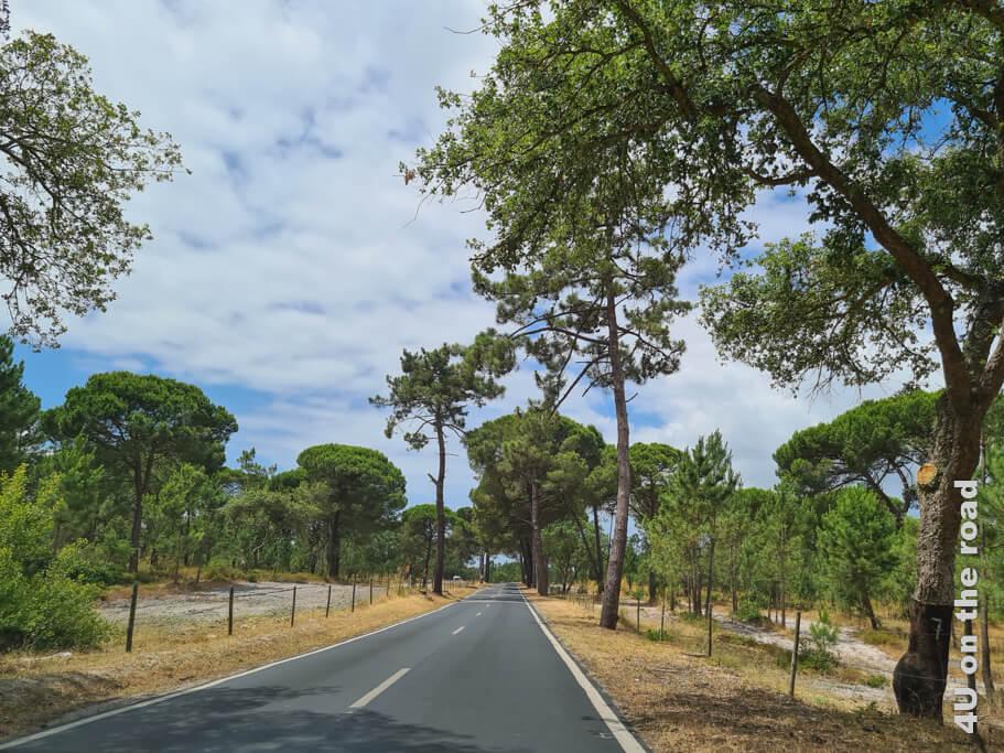 Eine Korkeiche (rechter Bildrand) und unterschiedliche Pinien säumen den Weg. Von Costa da Caparica zum Kap Espichel