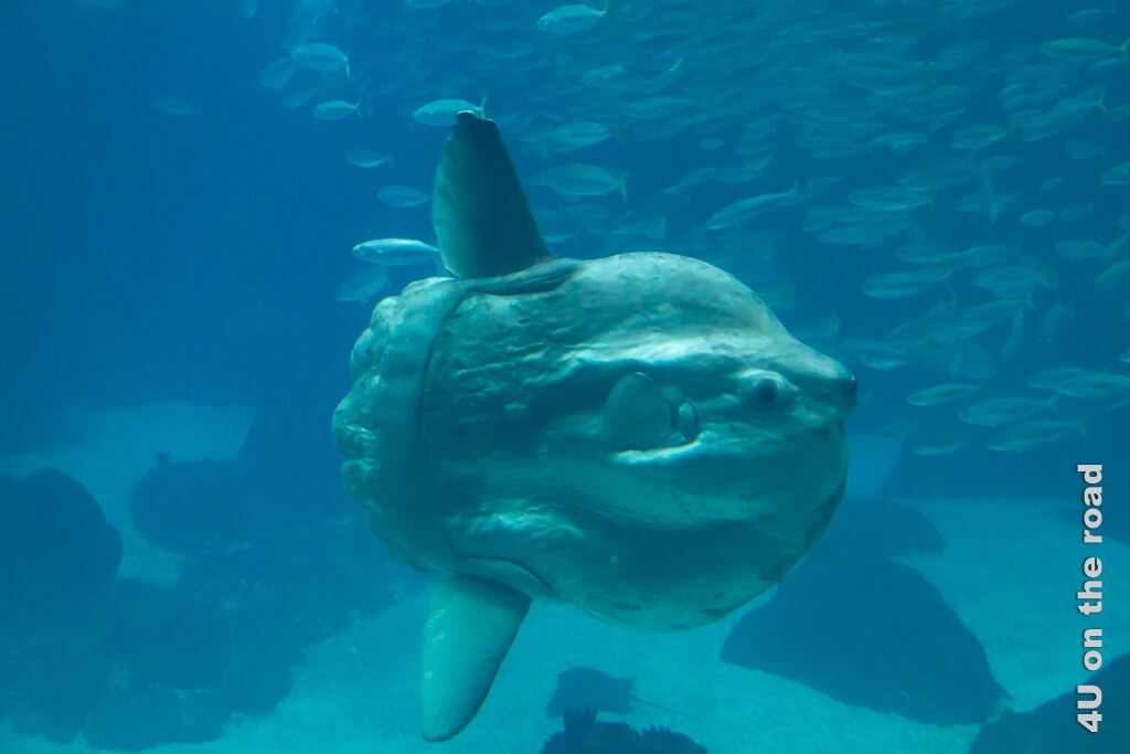 Der Sonnenfisch wird bis zu 3 m lang und bis zu 2.000 kg schwer.