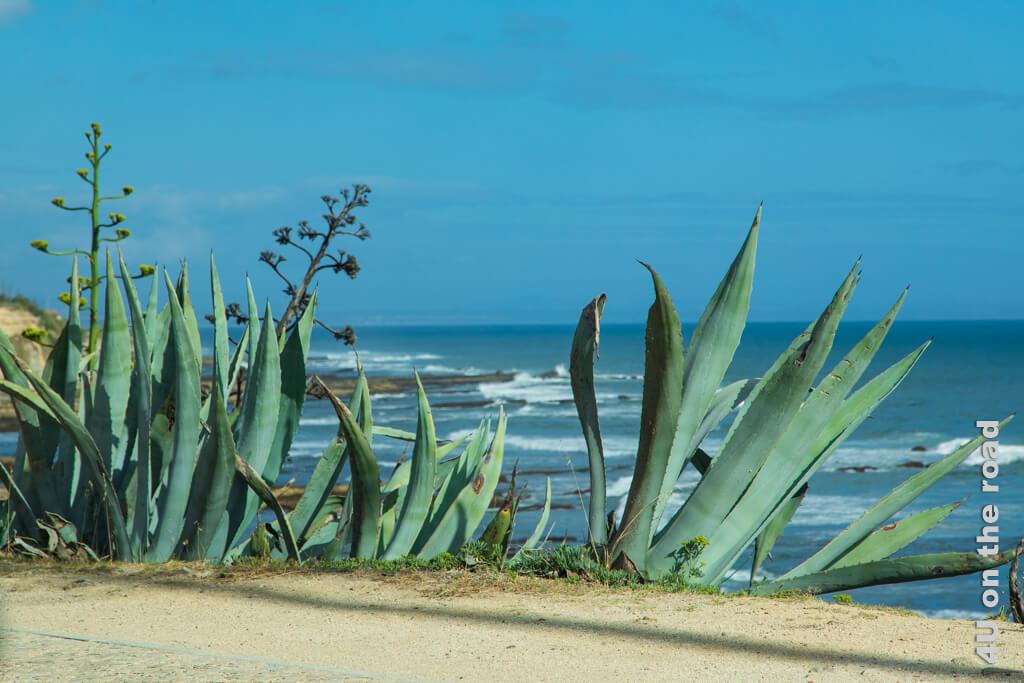 Agaven wachsen zahlreich entlang der Küste. Die Kombination ist der Inbegriff von Urlaub für mich.